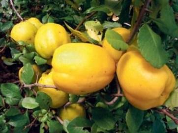 Айва сорту Хеномелес японський Маулея плоди