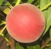 Персик сорту Адріатика
