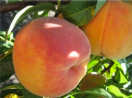 Персик сорту Вайн Голд Т3