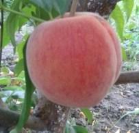 Персик сорту Кондор