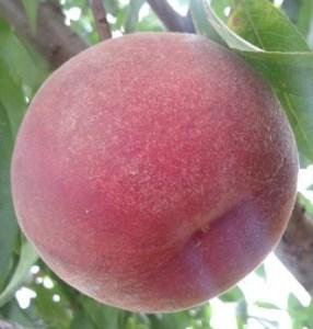 Персик сорту Лаурол
