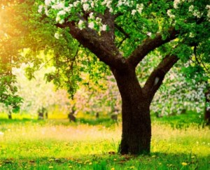 Плодові Дерева каталог черенків