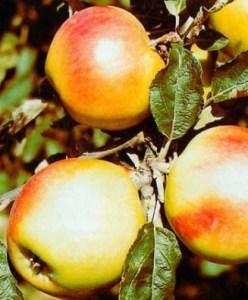 Яблуня сорту Пепінка Золотиста