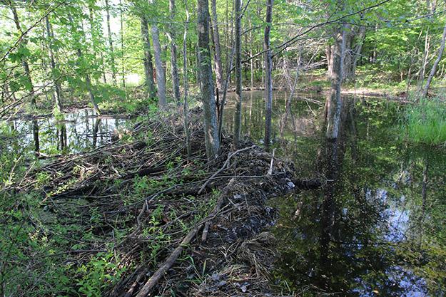 beaver-flooding