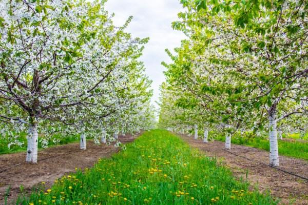 Cherry Blosooms