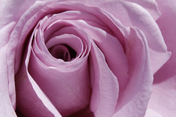 Pink Rose Reduced