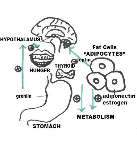 What role does the hypothalamus play in weight