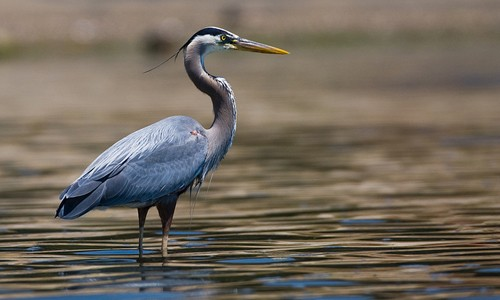 Image result for blue heron michigan