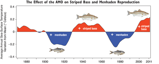 AMO graph. Credit: Maryland Sea Grant figure using an AMO graph plotted with data on sea-surface temperatures developed by Alexey Kaplan et al.