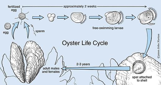 Image result for oyster spat settlement