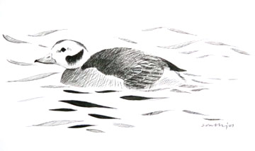 Long-tailed Duck wintering