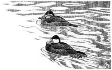 Ruddy Duck wintering