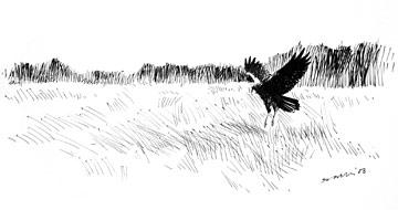 Marsh Harrier wintering