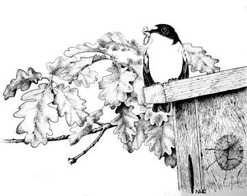 Pied Flycatcher breeding