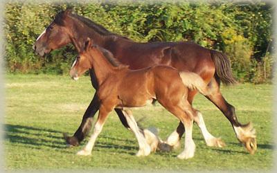 DRUM HORSE GYPSY DRUM HORSES GYPSY SHIRE HORSE BRABANT
