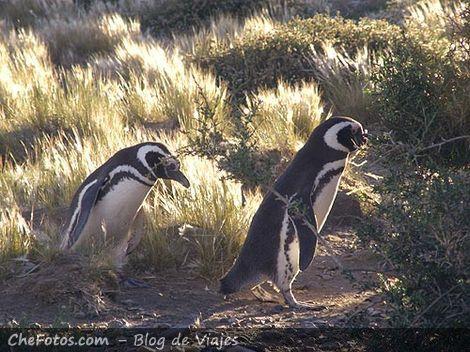 La marcha de los pingüinos de Magallanes