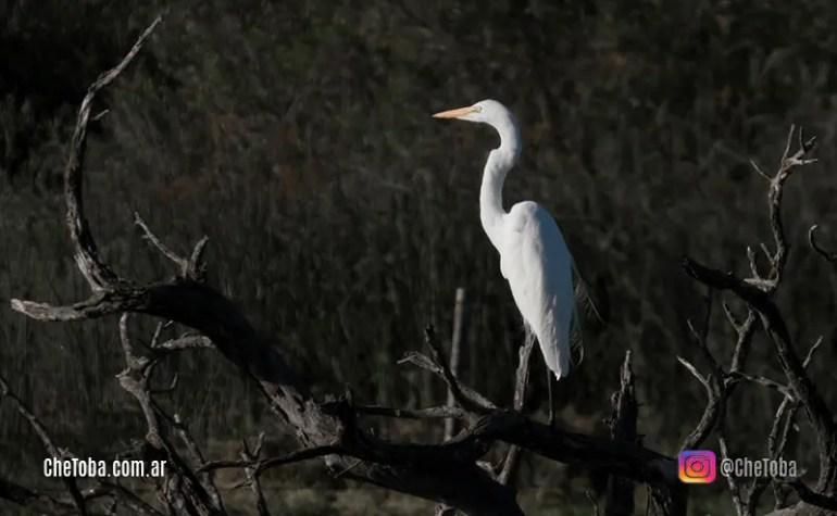 Garza Blanca - Aves de Córdoba