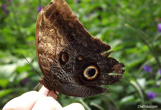 Mariposa parece un Ojo