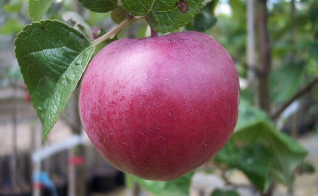 Apple Malus Spartan Chew Valley Trees