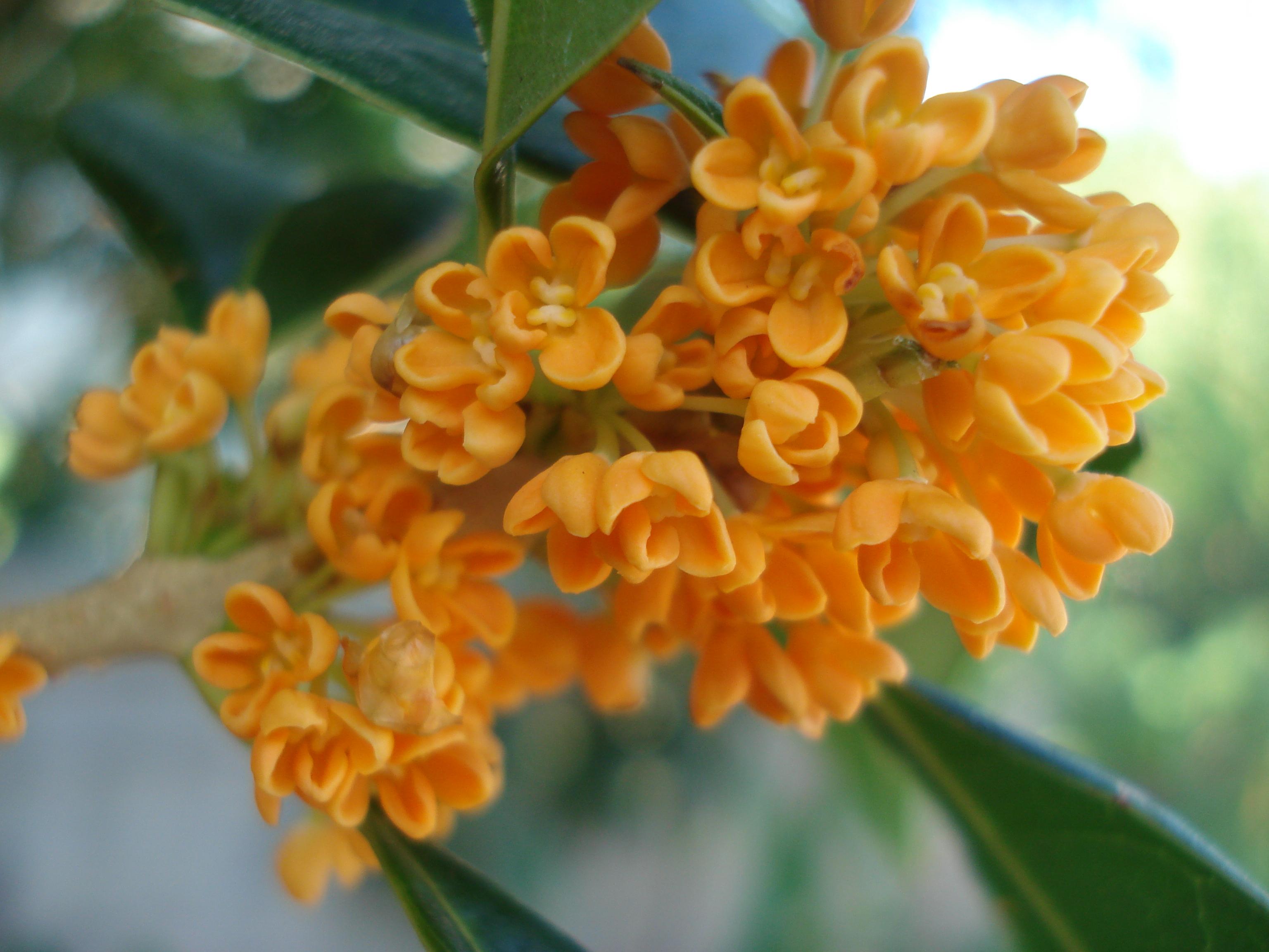 Orange Osmanthus Fragrans Ch Fruit Tree Nursery