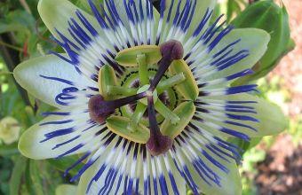Il fiore della passione, la passiflora