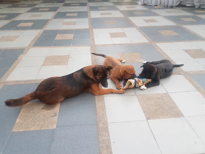 Thee dogs playing