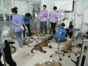 Rescued Dogs being treated at Nakhon Phanom