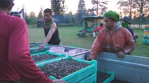 This year about 4,000 pickers received visas for the seasonal work.