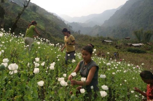 Indian opium farmers now are harvesting large crops in the country's northern area, a new development in the regional drug problem. (Photo by TNI)
