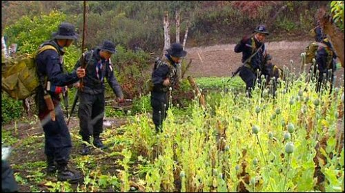 Drug Suppression authorities and soldiers of the 3rd army have eradicated more than 1,600 rai of opium poppy farmlands in the North of Thailand