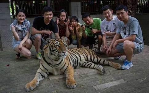 PETA hopes the incident will educate more tourists about the plight of tigers.