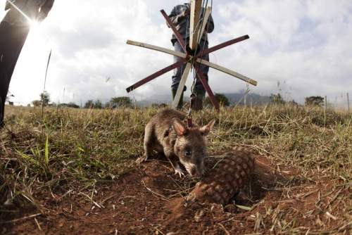 Cambodia Employs Giant African Pouched Rats in Detection of Landmines