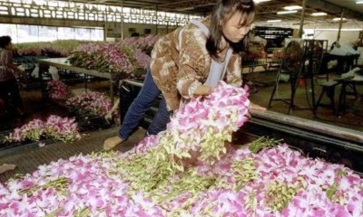 Thai orchids being thrown out