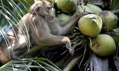 PETA, Thailand, coconuts, Monkeys
