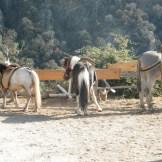 Des poneys au départ de la balade