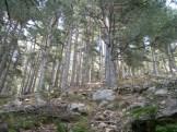 Des pins à l'arrivée sur le lac