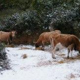 Les vaches du col de Teghime à Bastia.