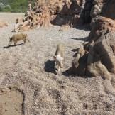 Un cochon sur le sable
