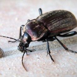 Un scarabée énorme sur ma terrasse
