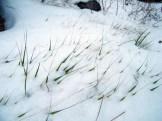 L'herbe est prise au piège de la neige
