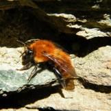 Une abeille pas fraîche