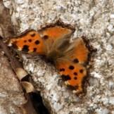 Un jolie papillon qui m'a suivi un moment