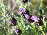 Des petites fleurs violettes
