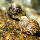 Des escargots de mer