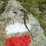 Un lézard de bédriaga, endémique à la Corse