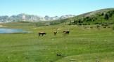 Les vaches profitent de l'herbe grasse
