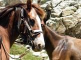 Les chevaux font connaissance