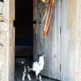 Un cabri de 5 jours à la bergerie de Vaccaghja