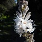 Une fleur d'asphodèle