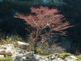 Un arbre rouge au retour
